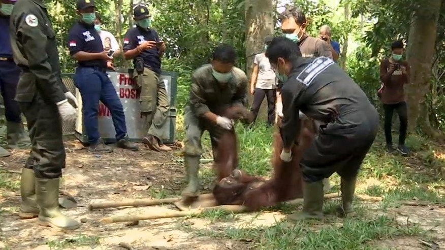 CORRECTS NUMBER OF RELEASED ORANGUTANS - In this Oct. 18, 2016 image made from video, workers lift a tranquilized orangutan to be transported to a release site, at Samboja Lestari sanctuary in Samboja, East Kalimantan, Indonesia. Five Bornean orangutans were released into their natural habitat by the Borneo Orangutan Survival Foundation after years-long rehabilitation from trauma often inflicted by people. (AP Photo)