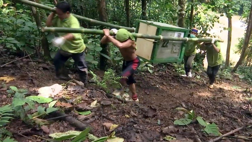 CORRECTS NUMBER OF RELEASED ORANGUTANS - In this Oct. 19, 2016 image made from video, workers carry a cage containing an orangutan to a release site at Kehje Sewen forest in East Kalimantan, Indonesia. Five Bornean orangutans were released into their natural habitat by the Borneo Orangutan Survival Foundation after years-long rehabilitation from trauma often inflicted by people. (AP Photo)