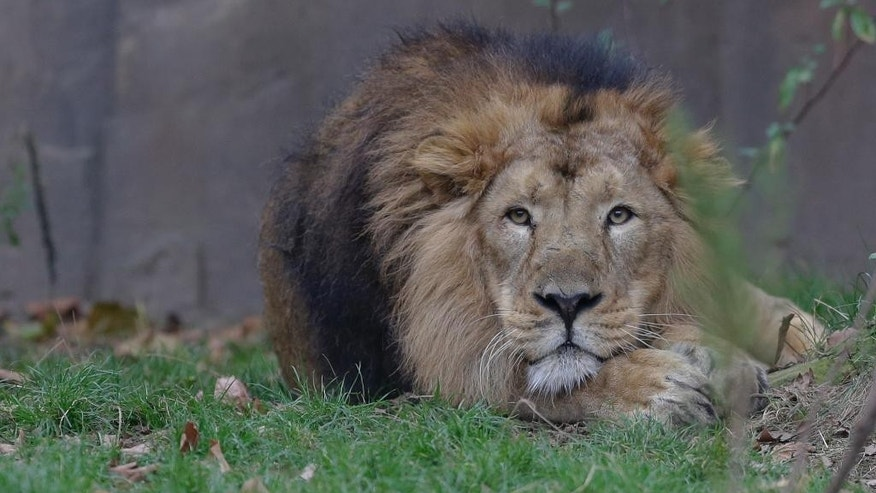 "A male Asiatic Lion looks out from his enclosure at London Zoo, in London, Thursday, Oct. 27, 2016. Environmentalists are warning that global wildlife populations have fallen an average of 58 percent when compared to the 1970s, in ""The Living Planet"" report from WWF and the Zoological Society of London. (AP Photo/Alastair Grant)"