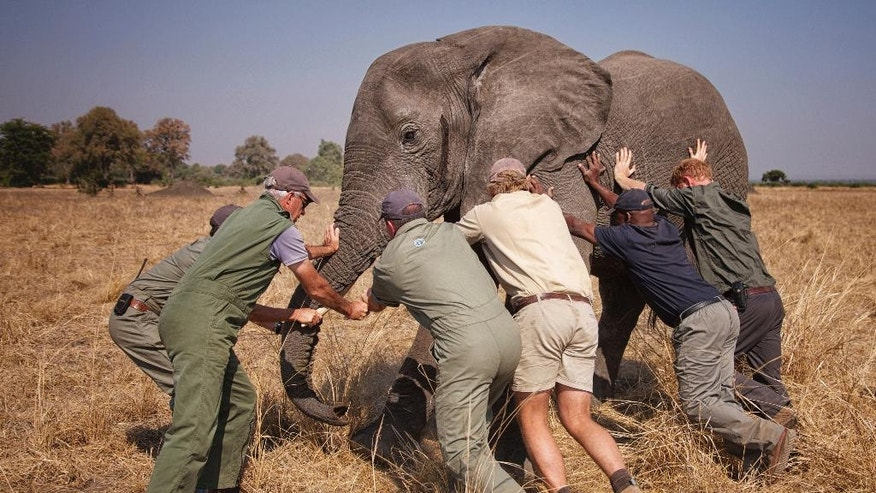 """Undated photo released Friday Oct. 28, 2016, by Kensington Palace showing Britain's Prince Harry, right, while he worked in Malawi during the summer 2016, with African Parks as part of an initiative involving moving some 500 elephants over 350 kilometers (220 miles) across Malawi to replenish elephant stocks in Nkhotakota Wildlife Reserve. Prince Harry says of the picture: """"A few of us trying to 'tip an elephant'. This young male was fighting the sedative drug and was heading towards the trees, which would have made it very difficult for us to get him on the truck. All directions were taken from Kester Vickery from Conservation Solutions and Andre Uys, the vet."""" (Frank Weitzer/African Parks via AP)"""