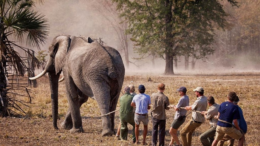 """Undated photo released Friday Oct. 28, 2016, by Kensington Palace showing Britain's Prince Harry, 4th left, while he worked in Malawi during the summer 2016, with African Parks as part of an initiative involving moving some 500 elephants over 350 kilometers (220 miles) across Malawi to replenish elephant stocks in Nkhotakota Wildlife Reserve. Prince Harry says of the picture: """"This big bull (male) elephant refused to lie down after it had been darted with tranquilliser. After about seven minutes the drug began to take effect and the elephant became semi-conscious, but it continued to shuffle for awhile! They have a tendency to hone in on forests, rivers and people when in this state. Here we are trying to slow him down!"""" (Frank Weitzer/African Parks via AP)"""