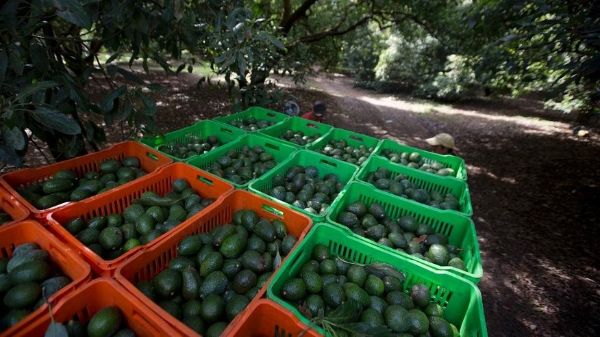 FILE - In this Jan. 16, 2014, file photo, avocado boxes are collected an avocado orchard in Michoacan, Mexico. Authorities in Mexico said on Monday, Oct. 31, 2016, that deforestation caused by the expansion of avocado orchards is much higher than previously thought. (AP Photo/Eduardo Verdugo, File)