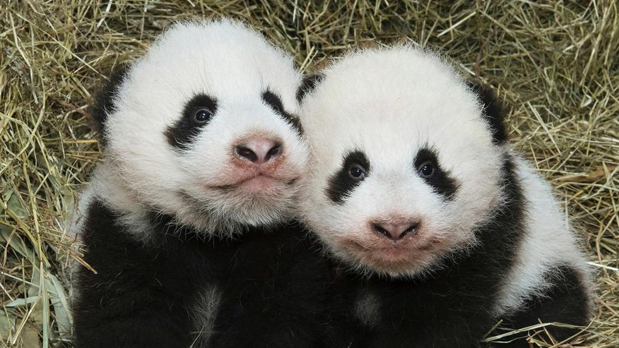 The Oct. 27, 2016 photo provided by the Schoenbrunn zoo in Vienna shows the pandas Fu Feng, left, and Fu Ban in the zoo in Vienna. The 3-month-old bears will get their names in an official ceremony on Nov. 23. (Daniel Zubanc/Tiergarten Schoenbrunn via AP)