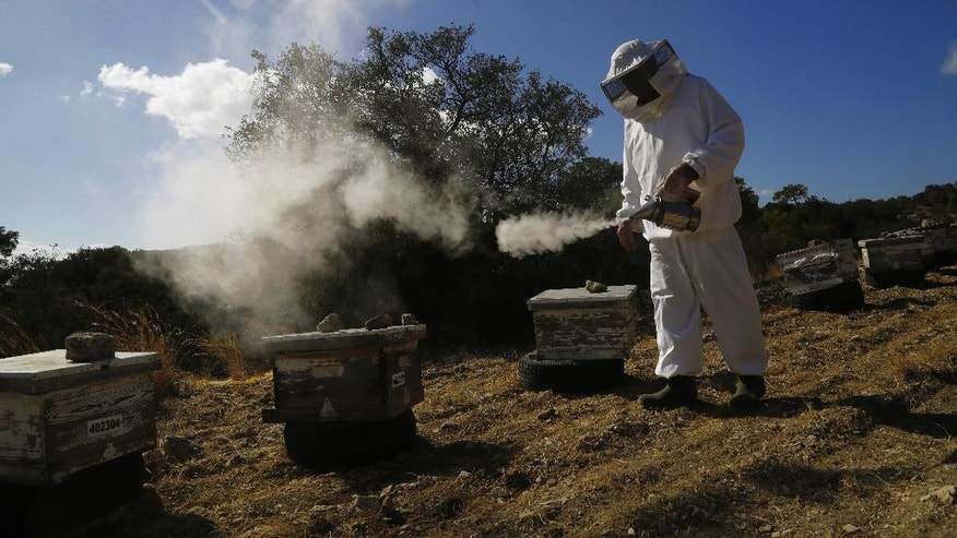 In this Monday, Oct. 31, 2016, Greek Cypriot beekeeper Soteris Antoniou uses smoke to disperse bees at the beehives in the field outside of Mandres village at the Turkish Cypriot breakaway northern part of the divided island of Cyprus. Soteris Antoniou and his Turkish Cypriot friend Kudret Balci have resolved to breed a Cypriot queen bee to replace foreign imports that simply can't cope with the ethnically-split island's long, scorching summer months. And in the process, they're showing how the two communities are reaching out to each other for practical solutions to common problems instead of relying on ill-suited, imported fixes. (AP Photo/Petros Karadjias)