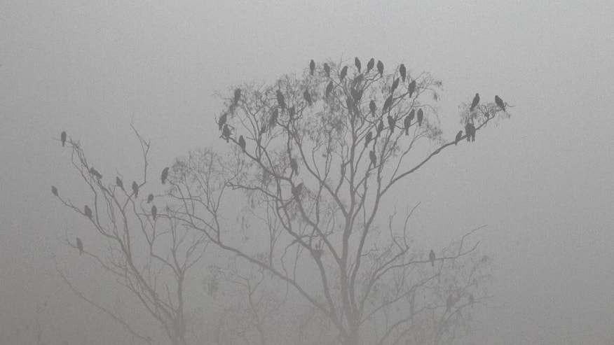 Birds sit on a tree in the dense smog in Lahore, Pakistan, Saturday, Nov. 5, 2016. Thick smog has engulfed several cities in central Pakistan for a few days, causing, breathing problems, road accidents and disruption of flight and train scheduled as well as the closure of the sections of the main motorways. (AP Photo/K.M. Chaudary)