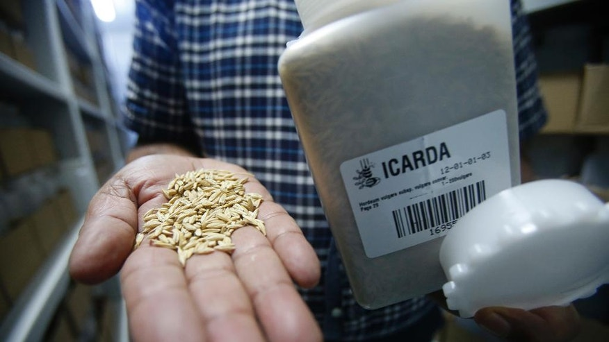FOR STORY SLUGGED MOROCCO SEED BANK BY SAMIA ERRAZZOUKI - Ahmed Amri, head of ICARDA's Genetic Resources Unit, displays seed samples in the Rabat seed bank, Morocco, Friday, Oct. 21, 2016. Spanning from wheat and barley varieties, to lentils and chick peas, the seed bank in Rabat has become ICARDA's primary site for both preserving these essential staples, as well as developing them to become more resistant to disease and harsh climates. (AP Photo/Abdeljalil Bounhar)