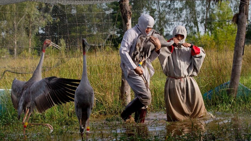In this Friday, Nov 4, 2016, photo, animal scientists Tanat Uttaraviset, left, and Natawut Wanna, wear crane suits as they carry a sarus crane to be released into the wild at a wetland acclimating center in Buriram, Thailand. The tallest flying birds in the world, 70 incubator-hatched, hand-fed sarus cranes have been raised and released over the past five years in Thailand's farm-rich northeast province of Buriram, whooping their startling two-toned song at dawn. (AP Photo/Gemunu Amarasinghe)