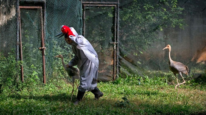 In this Saturday, Nov 5, 2016, photo, bird keeper Sarawut Wongsombat, in a crane suit, leads a young sarus crane back to it's enclosure as another follows him at the Korat Zoo's hatchling center, in Nakhorn Ratchasima, Thailand. Raising any type of crane to survive in the wild is a delicate matter, in large part because the birds tend to imprint on humans around them. Wildlife biologists who feed, care for and transport the birds from zoo incubators to temporary outdoor habitats wear fake crane suits to stop the birds from bonding. (AP Photo/ Gemunu Amarasinghe)