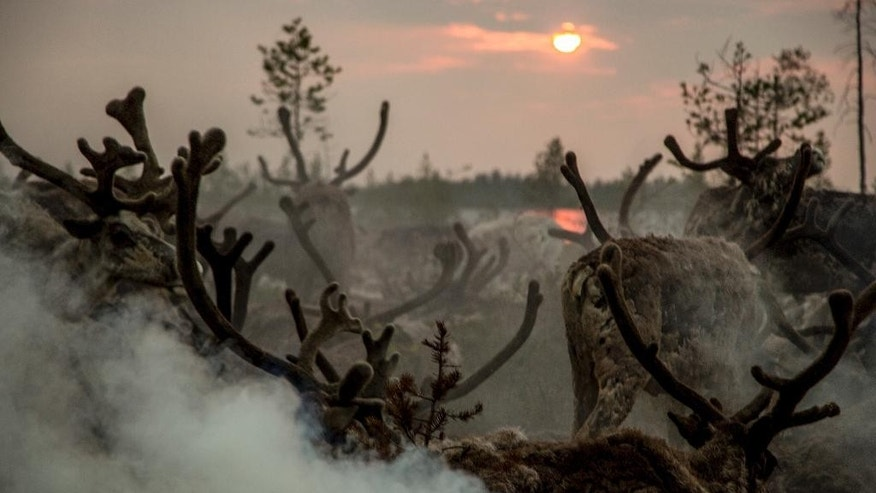 In this photo taken on Monday, July 11, 2016, the Moltanovs' reindeers pasture at the sunset in the family traditional reindeer herding camp in Russia's northern Yamal region. The indigenous reindeer herders in Russia's northern Yamal Region, a remote section of Siberia where winter temperatures can sink below minus 50 degrees Celsius, are facing a man-made threat as officials push ahead with an unprecedented culling that calls for at least one in seven of the Yamal's reindeer to be slaughtered. (AP Photo/Petr Shelomovskiy)