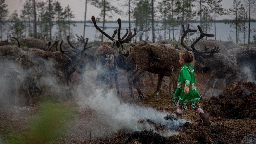 In this photo taken on Monday, July 11, 2016, Margarita Moltanova, 5, plays with reindeers in the family traditional reindeer herding camp in Russia's northern Yamal Region. The indigenous reindeer herders in Russia's northern Yamal Region, a remote section of Siberia where winter temperatures can sink below minus 50 degrees Celsius, are facing a man-made threat as officials push ahead with an unprecedented culling that calls for at least one in seven of the Yamal's reindeer to be slaughtered. (AP Photo/Petr Shelomovskiy)