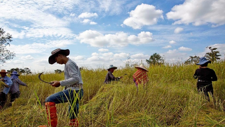 In this Nov 4, 2016 photo, Thai farmers harvest an organic rice-field in Buriram, Thailand. Just weeks after Thailand's military government imposed an unprecedented $1 billion fine against an ousted prime minister for her handling of an expensive rice subsidy program, it announced a major assistance plan of its own. It's spending $1.5 billion to help struggling rice farmers, going so far as to dispatch troops into the fields to help farmers harvest the crop. (AP Photo/Gemunu Amarasinghe)