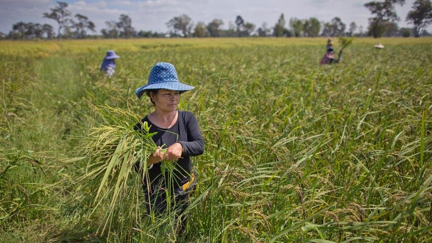 In this Nov 4, 2016 photo, Thai farmers weed an organic rice-field in Buriram, Thailand. Just weeks after Thailand's military government imposed an unprecedented $1 billion fine against an ousted prime minister for her handling of an expensive rice subsidy program, it announced a major assistance plan of its own. It's spending $1.5 billion to help struggling rice farmers, going so far as to dispatch troops into the fields to help farmers harvest the crop. (AP Photo/Gemunu Amarasinghe)