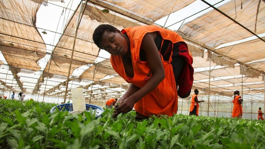 In this photo taken Tuesday, Nov. 1, 2016, a worker picks flower cuttings at the Royal Van Zanten flower farm in Nsangi, west of the capital Kampala, in Uganda. More than 80 Ugandan women are accusing the Dutch-owned flower exporter of exposing them to a toxic fumigant, in a case that suggests the difficult conditions faced by African workers at the lowest end of the lucrative international flower industry. (AP Photo/Stephen Wandera)