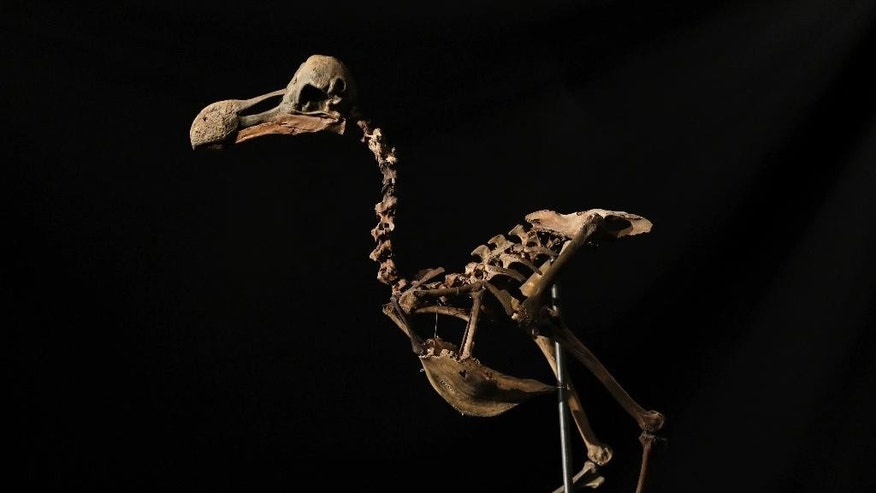 FILE- In this Thursday, Nov. 17, 2016 file photo, a Dodo skeleton, Raphus cucullatus, from Mauritius is displayed at Summers Place Auctions in Billingshurst, southern England. Summers Place Auctions has sold a composite dodo skeleton to a private collector for £346,300 pounds ($430,000), including buyer's premium on Tuesday, Nov. 22, 2016. (AP Photo/Matt Dunham, File)