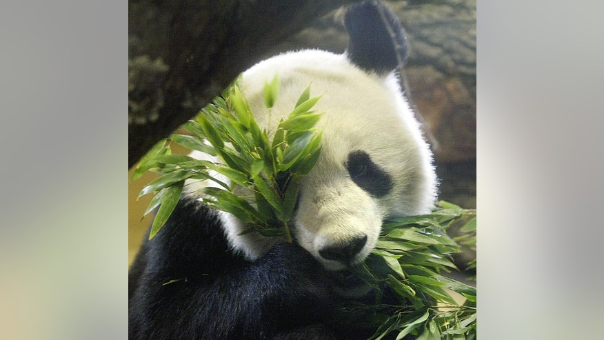 FILE - In this March 17, 2003 file picture male giant panda Long Hui eats bamboo at Vienna's Schoenbrunn zoo. Vienna's zoo says Friday Dec. 9, 2016 that the giant panda that fathered twins earlier this year has died while under anesthesia during an examination for a tumor. The Schoenbrunn zoo says Long Hui, a 16-year-old male, died while undergoing a computer tomographic examination. Zoo director Dagmar Schratter says his heart stopped beating,   (AP Photo/Rudi Blaha,file)