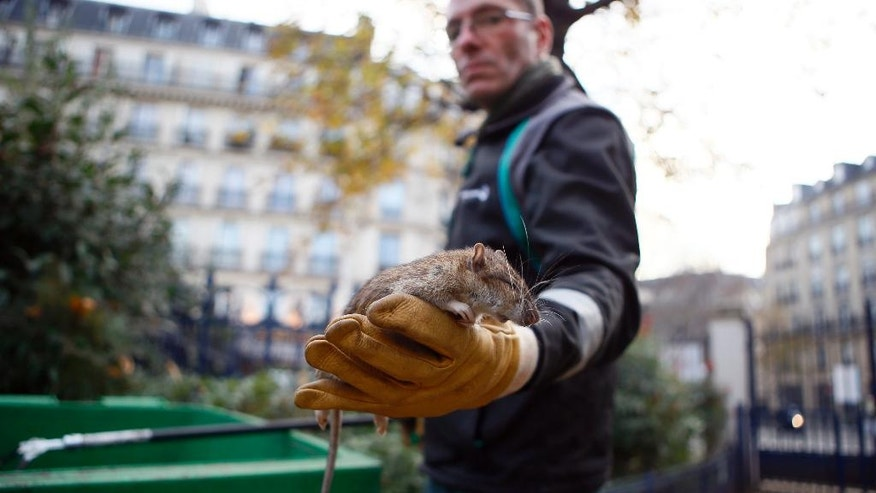 A Paris city employee shows a dead rat in the Saint Jacques Tower park, in the center of Paris, Friday, Dec. 9, 2016. Paris is on a new rampage against rats, trying to shrink the growing rodent population. (AP Photo/Francois Mori)