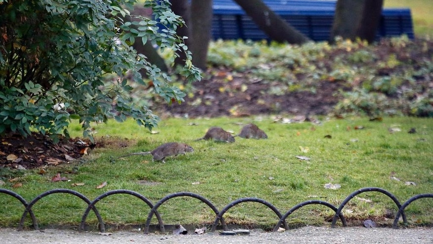Three rats gather in the lawn in the Saint Jacques Tower park, in the center of Paris, Friday, Dec. 9, 2016. Paris is on a new rampage against rats, trying to shrink the growing rodent population. (AP Photo/Francois Mori)