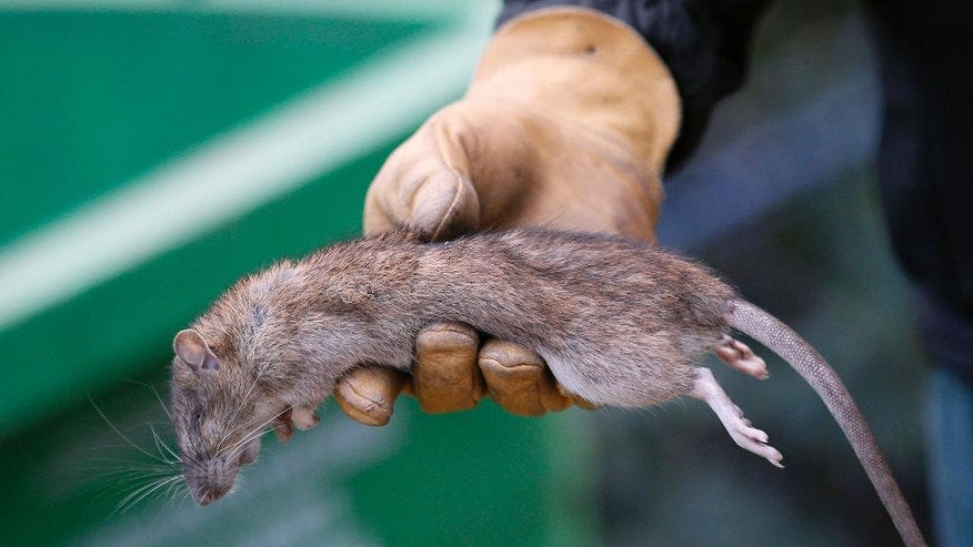 A Paris employee shows a dead rat in the Saint Jacques Tower park, in the center of Paris, Friday, Dec. 9, 2016. Paris is on a new rampage against rats, trying to shrink the growing rodent population. (AP Photo/Francois Mori)