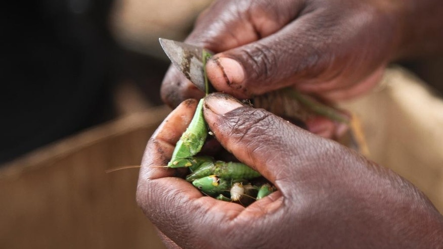 "In this photo taken Friday, Nov. 25, 2016, edible grasshoppers are cleaned with a knife at a stall in the Kamwokya district of the capital Kampala, in Uganda. Grasshoppers, known in the local Luganda language as ""nsenene,"" are a delicacy among millions in this East African during the rainy season. Fried grasshoppers have become a lucrative trade and businesses around the nation are making the most of the demand for the crunchy critters.  (AP Photo/Stephen Wandera)"
