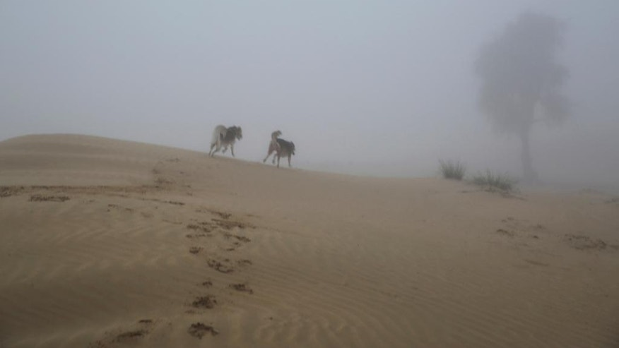 Two dogs play in the foggy desert on the outskirts of Dubai, United Arab Emirates, on Saturday, Dec. 31, 2016. A heavy, seasonal fog drifted over the city-state on Saturday, causing flight delays ahead of an annual New Year's Eve fireworks display expected to draw hundreds of thousands of people to its downtown. (AP Photo/Jon Gambrell)