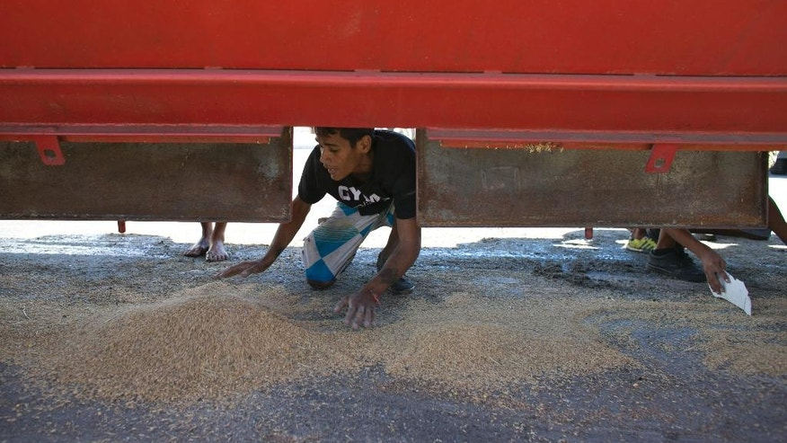 In this Nov. 14, 2016 photo, a young man collects rice that fell from a cargo truck waiting to enter the port and refill in Puerto Cabello, Venezuela, the port that handles the majority of Venezuela's food imports. At the ports, food sometimes rots even as 90 percent of Venezuelans say they can't afford enough to eat. (AP Photo/Ariana Cubillos)