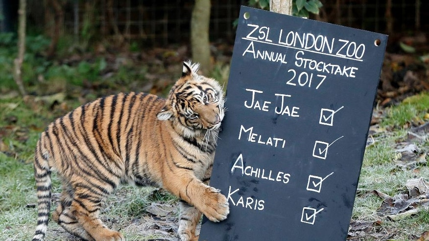 One of the six month old Sumatran tiger cubs Achilles or Karis plays with a blackboard during a photo call for the annual stock take at London Zoo in London, Tuesday, Jan. 3, 2017. Caring for more than 750 different species, ZSL London Zoo's keepers face the challenging task of tallying up every mammal, bird, reptile, fish and invertebrate at the Zoo. (AP Photo/Kirsty Wigglesworth)
