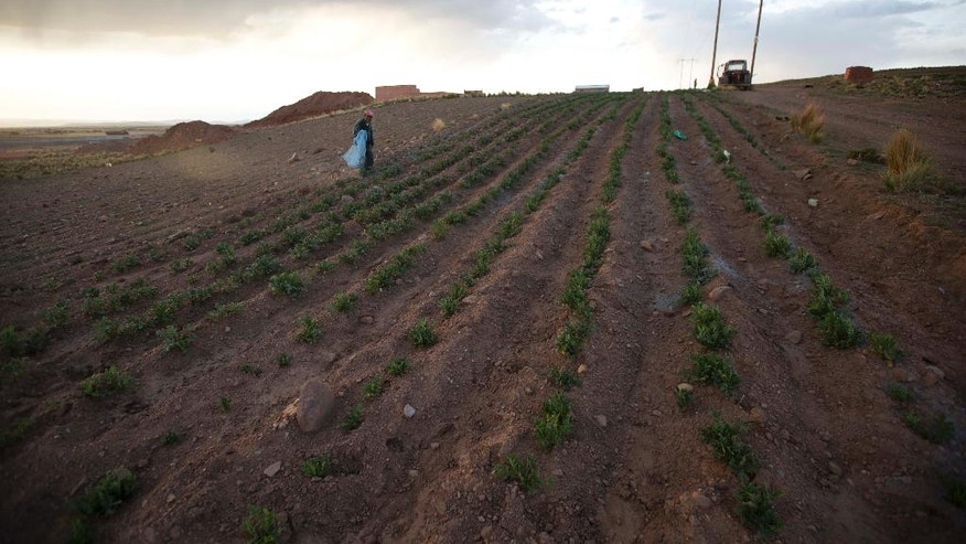In this Dec. 20, 2016 photo, farmer Florencio Canaza walks in his potato field after adding ash to the soil on the outskirts of Pucarani, Bolivia, which he said helps plants survive drought conditions. The Agricultural Chamber of the East reported the loss of nearly 50 percent of production over the South American winter in the eastern part of the country. (AP Photo/Juan Karita)