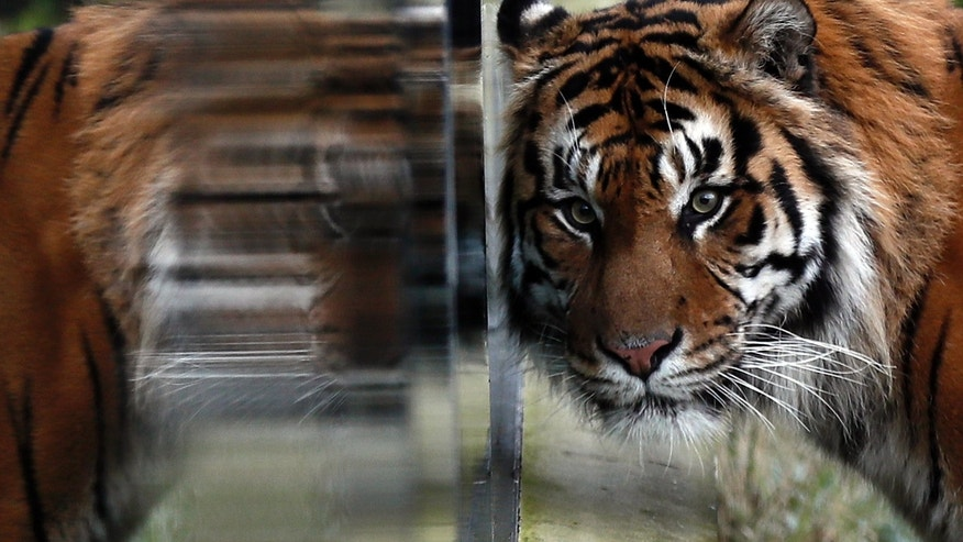 Tiger Jae Jae is reflected in glass at London Zoo in London, Britain, Jan. 3, 2017.