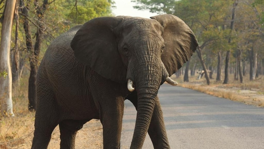 FILE -- In this Thursday, Oct. 1, 2015 file photo an elephant crosses a road in the Hwange National Park, in Hwange,  Zimbabwe. Zimbabwe's wildlife agency said Thursday, Jan. 5, 2017 it has sold 35 elephants to China to ease overpopulation and raise funds for conservation, amid criticism from animal welfare activists that such sales are unethical. (AP Photo/Tsvangirayi Mukwazhi, File)