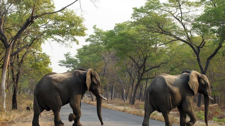 FILE -- In this Thursday, Oct. 1, 2015 file photo an elephant crosses a road in the Hwange National Park, Zimbabwe. Zimbabwe's wildlife agency said Thursday, Jan. 5, 2017 it has sold 35 elephants to China to ease overpopulation and raise funds for conservation, amid criticism from animal welfare activists that such sales are unethical. (AP Photo/Tsvangirayi Mukwazhi, File)