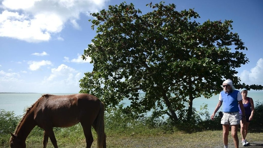 In this Jan. 14, 2016 photo, tourists walk by a horse grazing on the side of the road in Vieques, Puerto Rico. Puerto Rico's tiny Vieques island is famed for its scenery and its free-roaming horses. But there are now so many that officials have joined the Humane Society in a campaign to hold down the population with a campaign of contraceptive darts. (AP Photo/Carlos Giusti)
