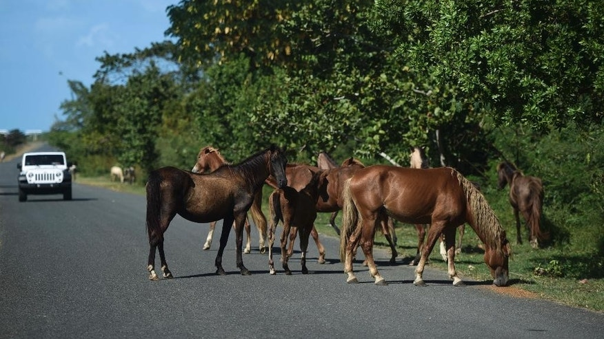 In this Jan. 14, 2017 photo, horses roam on a road near Mosquito Pier in Vieques, Puerto Rico. The horses are adored by tourists, who love taking pictures of them eating mangos and frolicking on the beaches. (AP Photo/Carlos Giusti)