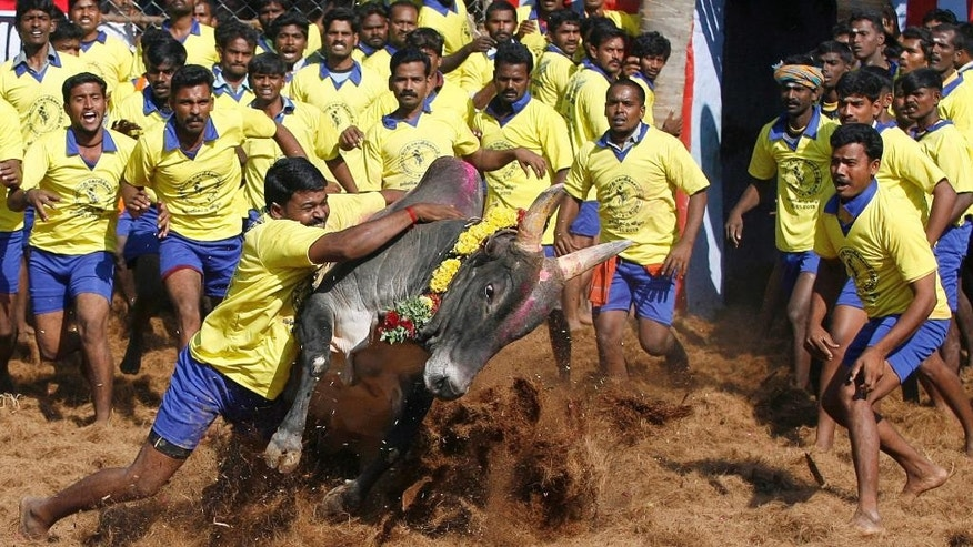 FILE - In this Jan. 15, 2013 file photo, Bull tamers try to control a bull during an ancient heroic sporting event of the Tamils called Jallikattu, in Palamedu, about 575 kilometers (359 miles) south of Chennai, India. Thousands of people converged on the Marina beach in Chennai on Tuesday night, Jan. 17, 2017, seeking to lift a court ban on the traditional sport of bull-taming. The crowd swelled further on Wednesday in response to appeals on social media by the protesters in Chennai and other parts of the state. (AP Photo/Arun Sankar K., File)