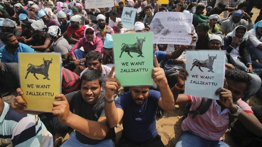 Protestors hold placards demanding Jallikattu, a traditional bull-taming sport banned by India's top court, be allowed to resume unhindered as thousands gather at the Marina beach in Chennai, India, Sunday, Jan.22, 2017. The sport was performed in parts of southern India on Sunday after Tamil Nadu state government signed an executive order Saturday allowing Jallikattu contests to take place Sunday. (AP Photo)