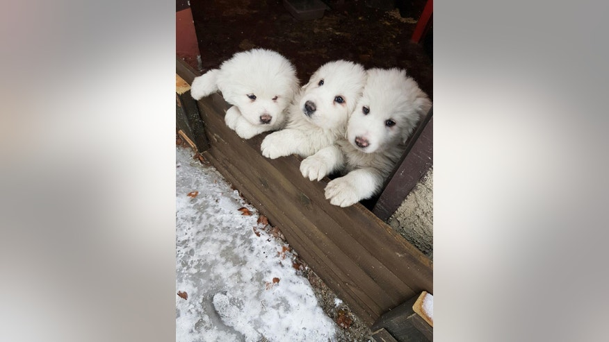 In this photo taken on Tuesday, Jan. 17, 2017 three puppies stay close to each other at the Hotel Rigopiano, near Farindola, central Italy, a day before an avalanche buried the hotel.  Emergency crews digging into an avalanche-slammed hotel were cheered Monday by the discovery of three puppies who had survived for days under tons of snow, giving them new hope for the 23 people still missing in the disaster. (Marisa Basilavecchia via AP)
