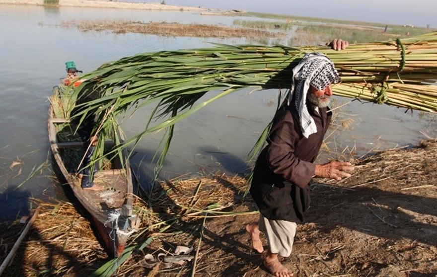 An Iraqi Marsh Arab collects reeds at the Chebayesh marsh in Nassiriya, 300 km (185 miles) southeast of Baghdad, February 15, 2013. The Marsh Arabs who had farmed this area for thousands of years, were badly affected by a campaign mounted by the government of Saddam Hussein in the 1990s to destroy their lifestyle. The marshes were drained of water, and hundreds of thousands of Marsh Arabs were forced to flee to cities, where they live in poverty, the locals in this area said. Picture taken February 15.     REUTERS/Thaier al-Sudani (IRAQ - Tags: SOCIETY ENVIRONMENT) - RTR3DV40