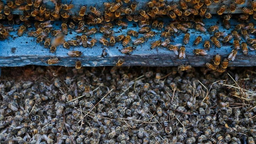 In this Wednesday, Feb. 1, 2017 photo, bees perch on a hive as the floor below them is blanketed with other bees that died during the wildfires at an apiary in Quebrada del Maule, Chile. Hundreds of small farmers, beekeepers and wine producers have been gravely affected by the massive wildfires that hit the area during the last couple of weeks. (AP Photo/Esteban Felix)