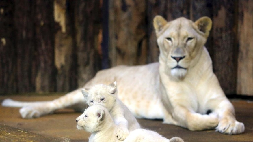 "Two of four white lion babies play in front of their mother ""Kiara"" at the zoo in Magdeburg, Germany, Monday, Feb. 6, 2017. The five-week-old lions weigh 6 kilograms each and have developed splendidly. (Peter Gercke/dpa via AP)"