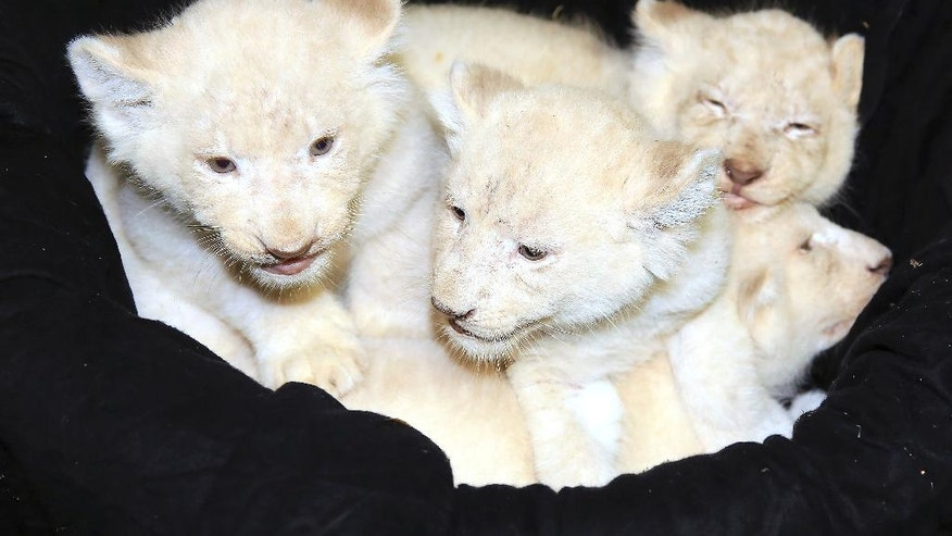 Four white lion cubs recline in a basket at the zoo in Magdeburg, Germany, Monday, Feb. 6, 2017. The five-week-old lions weigh 6 kilograms each and have developed splendidly. (Peter Gercke/dpa via AP)