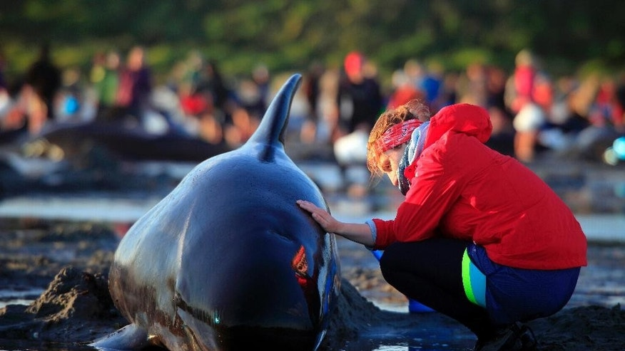 In this Friday, Feb 10, 2017 photo, German visitor Lea Stubbe rubs water on a pilot whale that beached itself at the remote Farewell Spit on the tip of the South Island of New Zealand. Volunteers in New Zealand managed to refloat about 100 surviving pilot whales on Saturday, Feb. 11, 2017 and are hoping they will swim back out to sea after more than 400 of the creatures swam aground at a remote beach. (Tim Cuff/New Zealand Herald via AP)