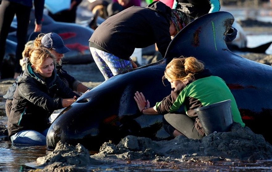 Volunteers attend to some of the hundreds of stranded pilot whales still alive after one of the country's largest recorded mass whale strandings, in Golden Bay, at the top of New Zealand's South Island, February 10, 2017. REUTERS/Anthony Phelps - RTX30EO6
