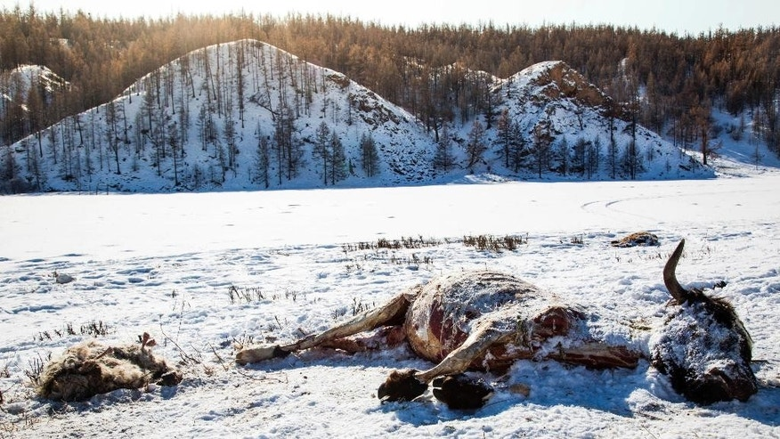 In this Monday, Feb. 13, 2017 photo provided by the International Federation of Red Cross and Red Crescent Societies, dead animals lie in the snow in a rural area of Khuvsgul province in northern Mongolia. Exceptionally cold weather in Mongolia is putting the livelihoods of more than 150,000 nomadic herders and family members at risk just one year after another extreme winter killed more than 1 million animals, the Red Cross said Thursday, Feb. 16, 2017 as it launched an emergency appeal. (Mirva Helenius/IFRC via AP)