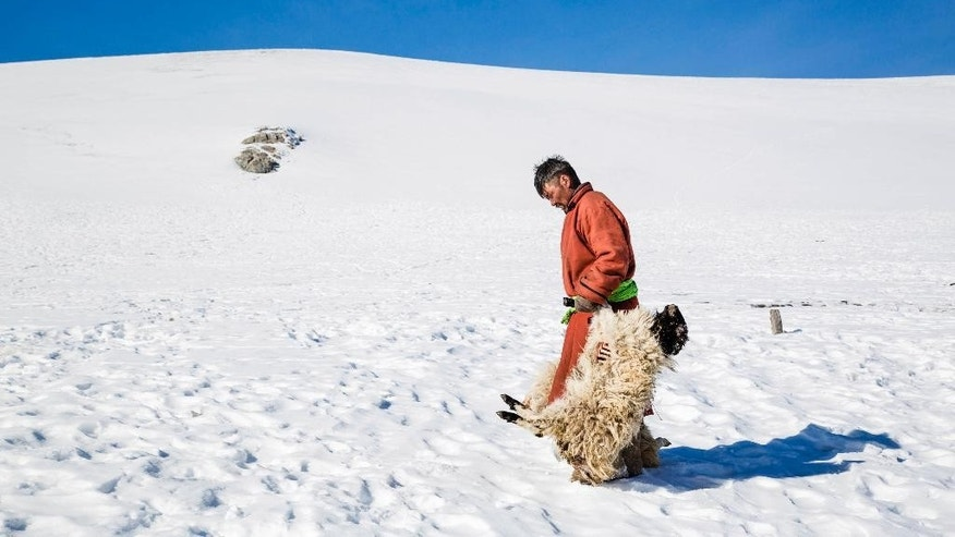 In this Sunday, Feb. 12, 2017 photo provided by the International Federation of Red Cross and Red Crescent Societies, Mongolian herder Munkhbat Bazarragchaa drags two recently dead sheep through the snow in a rural area of Khuvsgul province in northern Mongolia. Exceptionally cold weather in Mongolia is putting the livelihoods of more than 150,000 nomadic herders and family members at risk just one year after another extreme winter killed more than 1 million animals, the Red Cross said Thursday, Feb. 16, 2017 as it launched an emergency appeal. (Mirva Helenius/IFRC via AP)