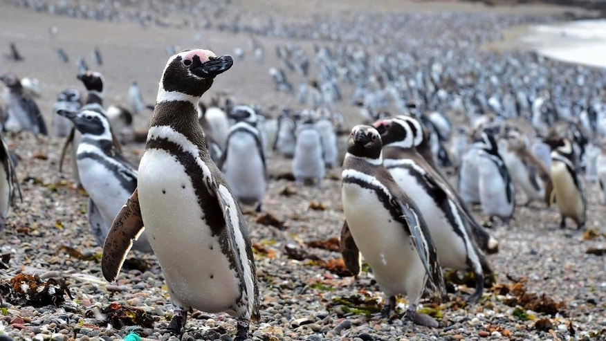 Penguins walk on a beach at Punta Tombo peninsula in Argentina's Patagonia, on Friday, Feb. 17, 2017. Drawn by an unusually abundant haul of sardines and anchovies, over a million penguins visited the peninsula during this years' breeding season, a recent record number according to local officials. Punta Tombo represents the largest colony of Magellanic penguins in the world. (AP Photo/Maxi Jonas)