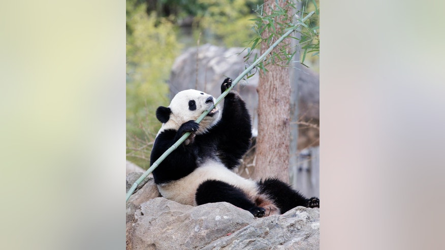 Bao Bao, the beloved 3-year-old panda at the National Zoo in Washington, enjoys a final morning in her bamboo-filled habitat before her one-way flight to China to join a panda breeding program, Tuesday, Feb. 21, 2017. (AP Photo/J. Scott Applewhite)