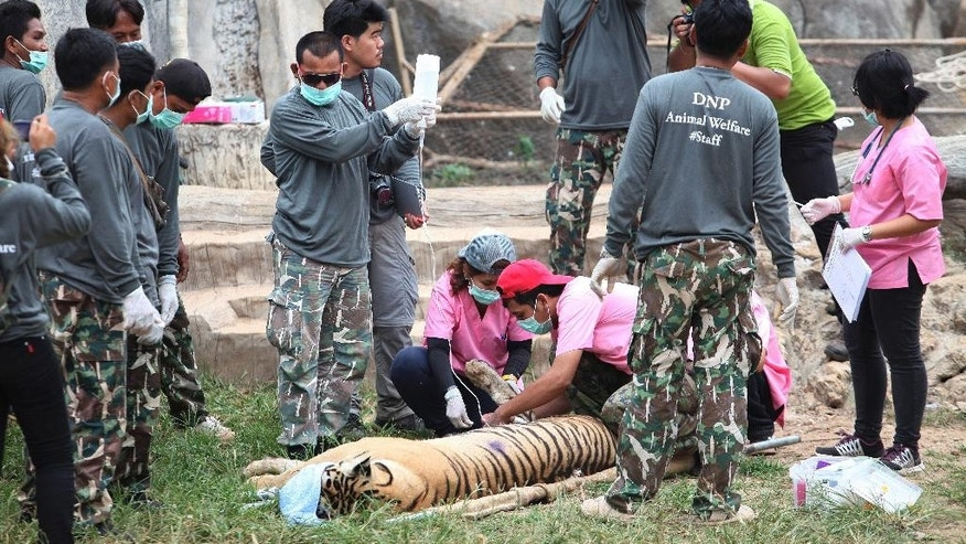 "FILE - In this Monday, May 30, 2016 file photo, wildlife officials sedate a tiger at the ""Tiger Temple"" in Saiyok district in Kanchanaburi province, west of Bangkok, Thailand. Less than a year after Thai police shut down a Buddhist temple that ran a lucrative tiger zoo while allegedly trafficking in the endangered beasts, a new zoo is planning to open right next door. A tour agency is already advertising excursions there and a lawyer for the former temple said Friday, Feb. 24, 2017, the new zoo should be completed in two or three months. (AP Photo) THAILAND OUT"
