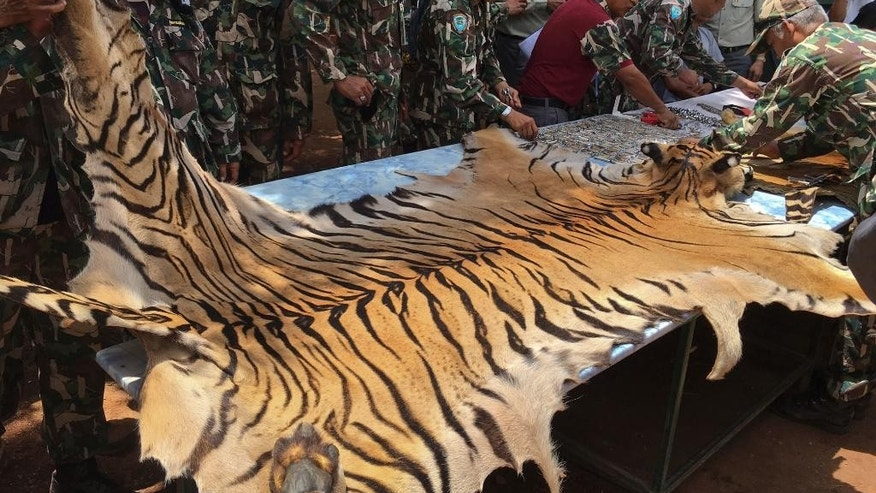 "FILE - In this June 2, 2016 file photo, National Parks and Wildlife officers examine the skin of a tiger at the ""Tiger Temple,"" in Saiyok district in Kanchanaburi province, west of Bangkok, Thailand. Less than a year after Thai police shut down a Buddhist temple that ran a lucrative tiger zoo while allegedly trafficking in the endangered beasts, a new zoo is planning to open right next door. A tour agency is already advertising excursions there and a lawyer for the former temple said Friday, Feb. 24, 2017, the new zoo should be completed in two or three months. (AP Photo) THAILAND OUT"