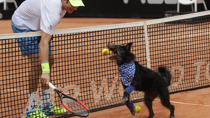 Brazilian tennis player Marcelo Demoliner plays with a shelter dog specially trained as a ball-retriever during an exhibition event at the Brazil Open tournament in Sao Paulo, Brazil, Saturday, March 4, 2017.  Wearing blue bandanas around their necks, specially trained shelter dogs showed off their talents shortly before Joao Sousa of Portugal met Spain's Albert Ramos-Vinolas in the day's first semifinal match. (AP Photo/Andre Penner)