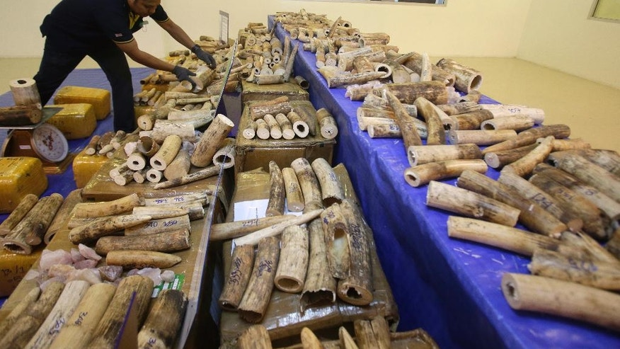 Thai customs officials display seized ivory during a press conference at Customs Suvarnabhumi airport in Bangkok, Thailand, Tuesday, March 7, 2017. Thai authorities seized 330 kilograms (727 pounds) covered with rough stones and transported from Malawi to Thailand. (AP Photo/Sakchai Lalit)