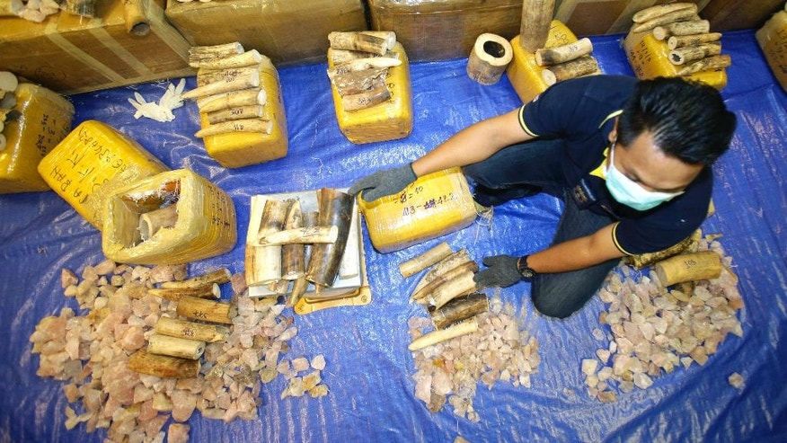 Thai customs officials measure seized elephant tusks by weight during a press conference at Customs Suvarnabhumi airport in Bangkok, Thailand, Tuesday, March 7, 2017. Thai authorities seized 330 kilograms (727 pounds) covered with rough stones and transported from Malawi to Thailand.(AP Photo/Sakchai Lalit)